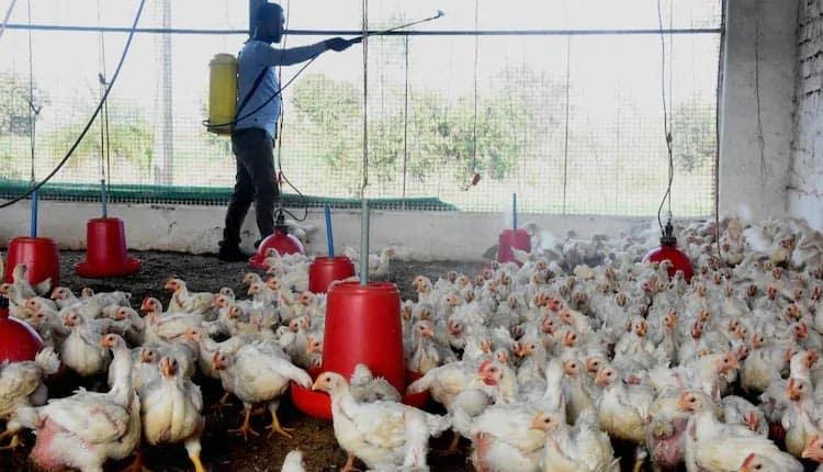bird flu impact on chicken industry